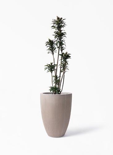 観葉植物 ドラセナ パープルコンパクタ 8号 リブラ モノ ブラウン 付き