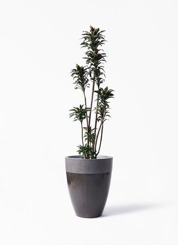 観葉植物 ドラセナ パープルコンパクタ 8号 ファイバーストーン カプリ 黒 付き