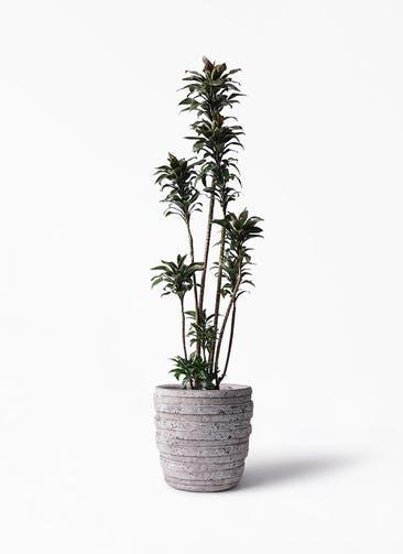 観葉植物 ドラセナ パープルコンパクタ 8号 凛(りん)ラージS  付き