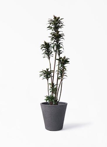 観葉植物 ドラセナ パープルコンパクタ 8号 ビアスソリッド ブラック 付き