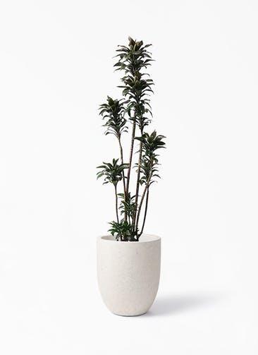 観葉植物 ドラセナ パープルコンパクタ 8号 フォリオアルトエッグ クリーム 付き