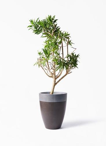 観葉植物 ドラセナ ソング オブ ジャマイカ 8号 ファイバーストーン カプリ マッドブラウン 付き