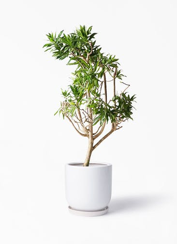 観葉植物 ドラセナ ソング オブ ジャマイカ 8号 アファール 白 付き