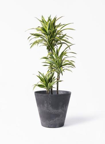 観葉植物 ドラセナ ワーネッキー レモンライム 8号 アートストーン ラウンド ブラック 付き