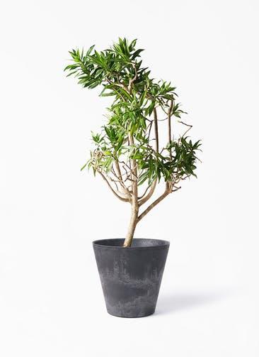 観葉植物 ドラセナ ソング オブ ジャマイカ 8号 アートストーン ラウンド ブラック 付き