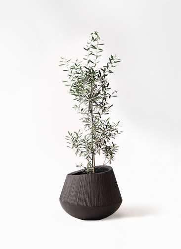 観葉植物 オリーブの木 8号 チプレッシーノ エディラウンド 黒 付き