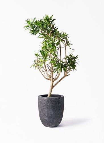 観葉植物 ドラセナ ソング オブ ジャマイカ 8号 フォリオアルトエッグ ブラックウォッシュ 付き
