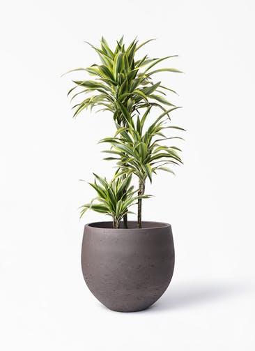 観葉植物 ドラセナ ワーネッキー レモンライム 8号 アディラボウル 濃茶 付き