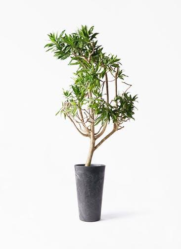 観葉植物 ドラセナ ソング オブ ジャマイカ 8号 アートストーン トールラウンド ブラック 付き