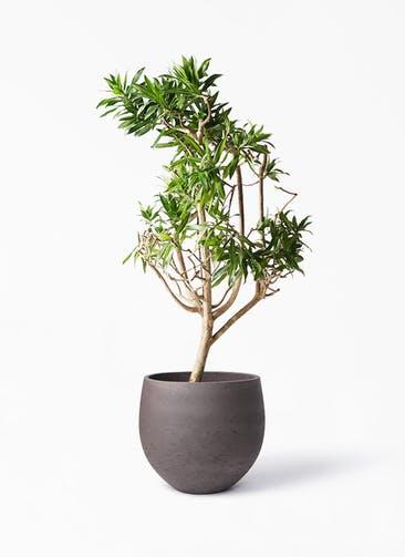 観葉植物 ドラセナ ソング オブ ジャマイカ 8号 アディラボウル 濃茶 付き