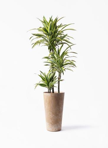 観葉植物 ドラセナ ワーネッキー レモンライム 8号 アートストーン トールラウンド ベージュ 付き