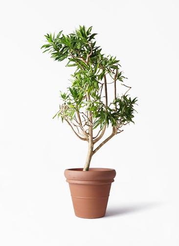 観葉植物 ドラセナ ソング オブ ジャマイカ 8号 トスカーナ リムポット 付き