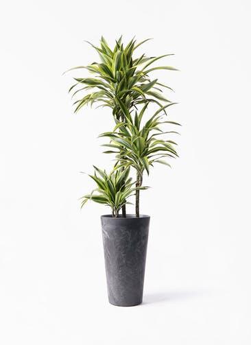 観葉植物 ドラセナ ワーネッキー レモンライム 8号 アートストーン トールラウンド ブラック 付き