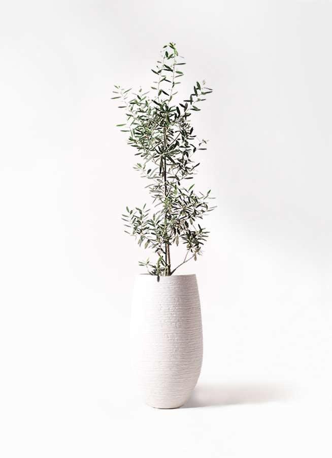 観葉植物 オリーブの木 8号 チプレッシーノ フォンティーヌトール 白 付き