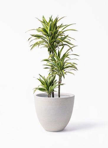 観葉植物 ドラセナ ワーネッキー レモンライム 8号 スタウト アッシュラウンド 付き