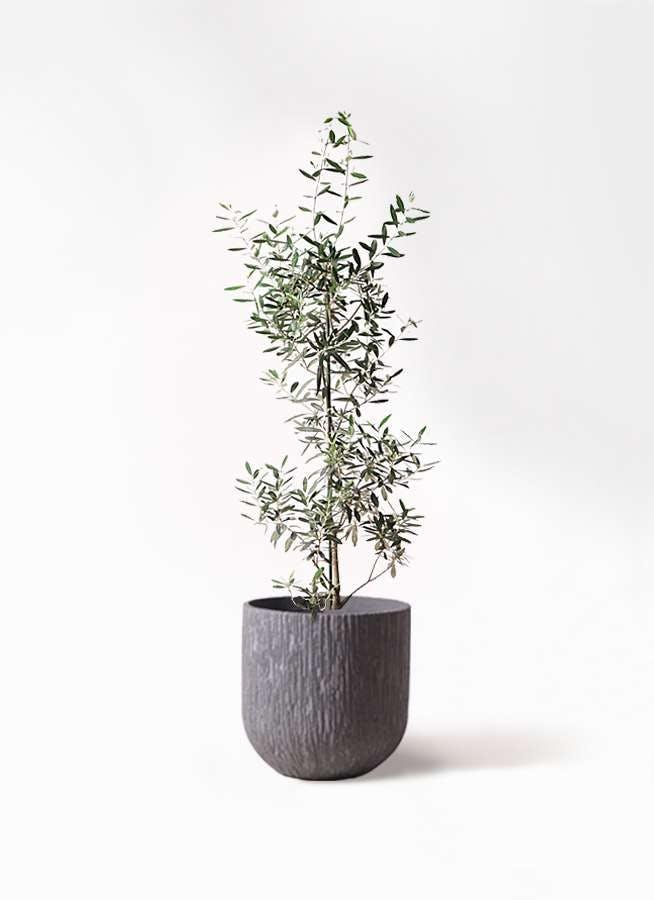 観葉植物 オリーブの木 8号 チプレッシーノ カルディナダークグレイ 付き