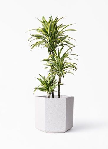 観葉植物 ドラセナ ワーネッキー レモンライム 8号 コーテス ヘックス ホワイトテラゾ 付き