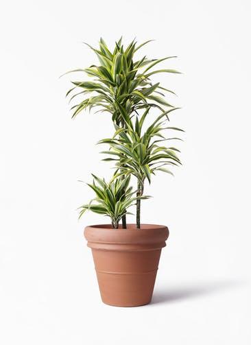 観葉植物 ドラセナ ワーネッキー レモンライム 8号 トスカーナ リムポット 付き