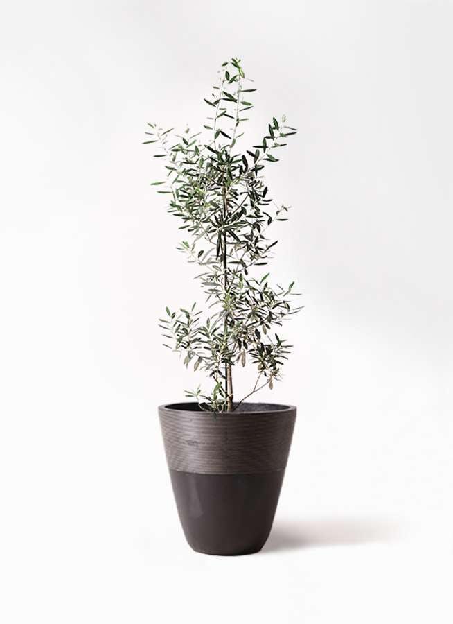 観葉植物 オリーブの木 8号 チプレッシーノ ジュピター 黒 付き