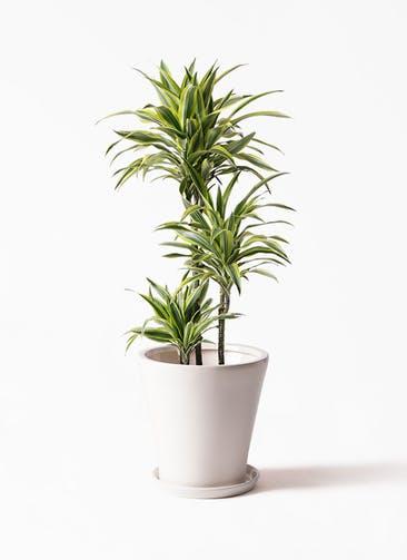 観葉植物 ドラセナ ワーネッキー レモンライム 8号 サブリナ 白 付き