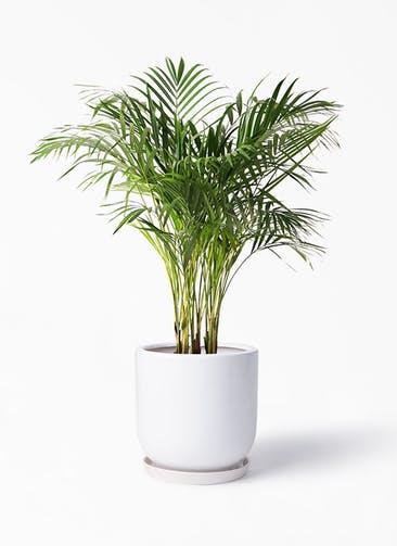 観葉植物 アレカヤシ 8号 アファール 白 付き