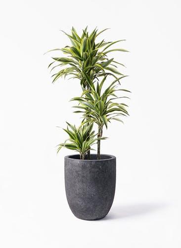 観葉植物 ドラセナ ワーネッキー レモンライム 8号 フォリオアルトエッグ ブラックウォッシュ 付き