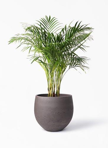 観葉植物 アレカヤシ 8号 アディラボウル 濃茶 付き