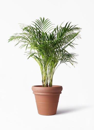 観葉植物 アレカヤシ 8号 トスカーナ リムポット 付き