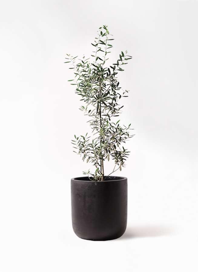 観葉植物 オリーブの木 8号 チプレッシーノ エルバ 黒 付き