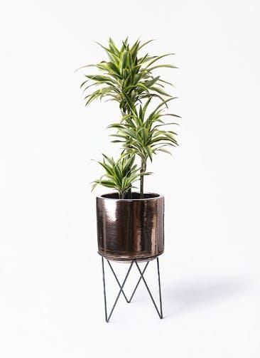 観葉植物 ドラセナ ワーネッキー レモンライム 8号 ビトロ エンデカ ゴールド アイアンポットスタンド ブラック  付き