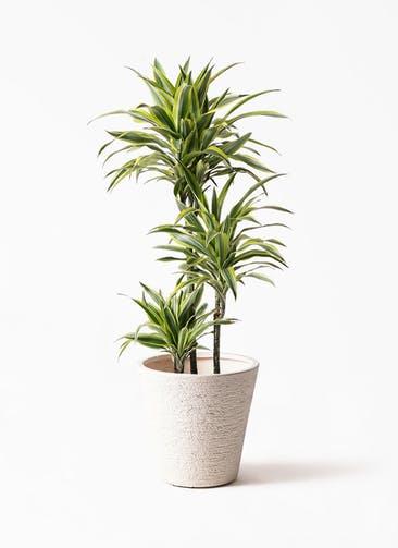観葉植物 ドラセナ ワーネッキー レモンライム 8号 ビアスソリッド 白 付き