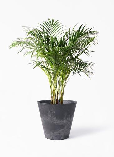 観葉植物 アレカヤシ 8号 アートストーン ラウンド ブラック 付き