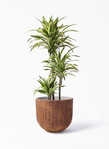 観葉植物 ドラセナ ワーネッキー レモンライム 8号 バル ユーポット ラスティ  付き