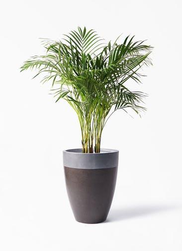 観葉植物 アレカヤシ 8号 ファイバーストーン カプリ マッドブラウン 付き
