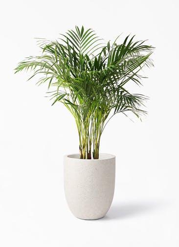 観葉植物 アレカヤシ 8号 フォリオアルトエッグ クリーム 付き