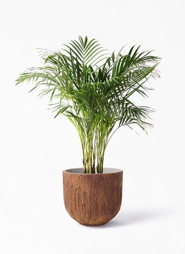 観葉植物 アレカヤシ 8号 バル ユーポット ラスティ  付き