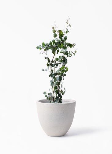 観葉植物 ユーカリ 8号 ポリアンセモス スタウト アッシュラウンド 付き