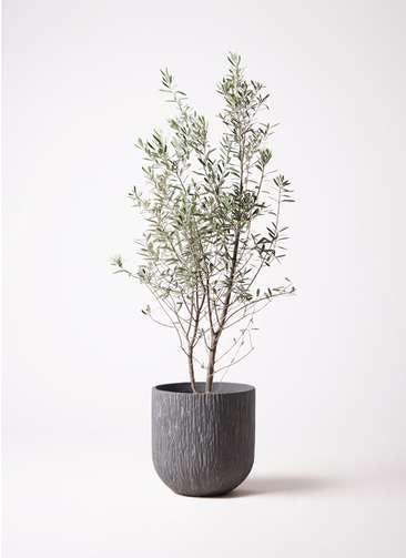 観葉植物 オリーブの木 10号 チプレッシーノ カルディナダークグレイ 付き