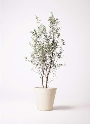 観葉植物 オリーブの木 10号 チプレッシーノ フォリオソリッド クリーム 付き