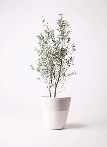 観葉植物 オリーブの木 10号 チプレッシーノ ジュピター 白 付き