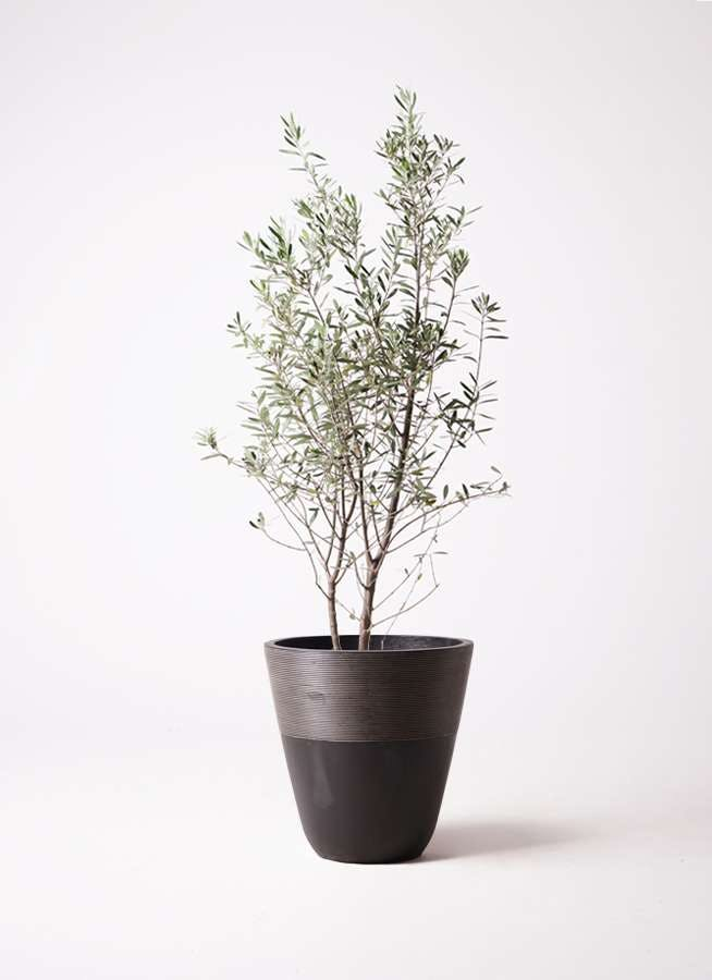 観葉植物 オリーブの木 10号 チプレッシーノ ジュピター 黒 付き