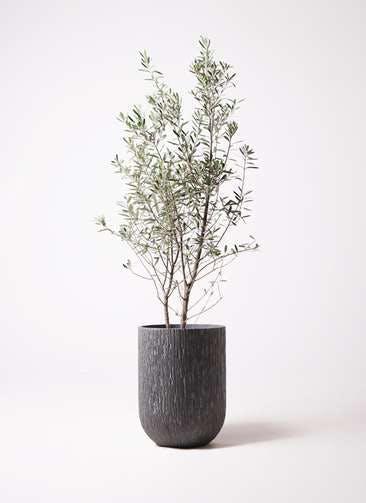 観葉植物 オリーブの木 10号 チプレッシーノ カルディナトールダークグレイ 付き
