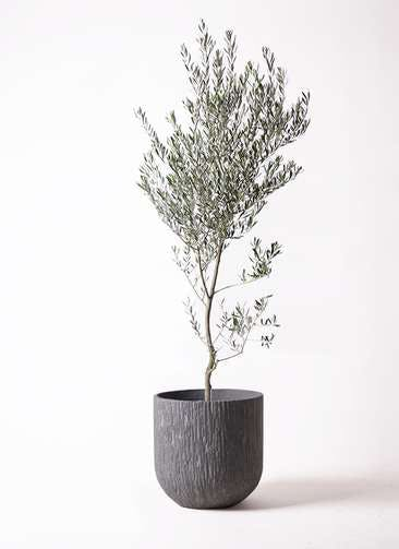 観葉植物 オリーブの木 10号 創樹 カルディナダークグレイ 付き