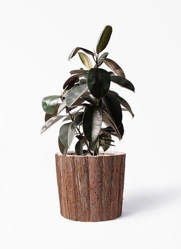 観葉植物 フィカス バーガンディ 8号 ノーマル ウッドポットカバー バーク 付き