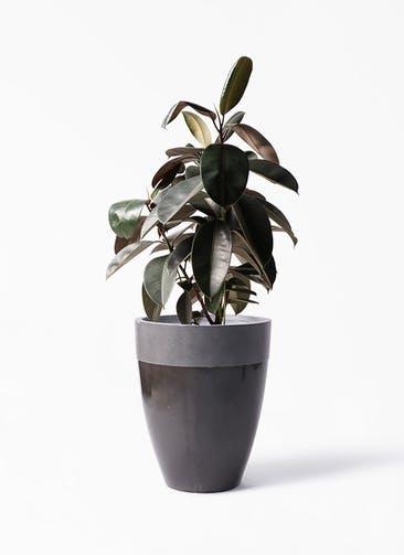 観葉植物 フィカス バーガンディ 8号 ノーマル ファイバーストーン カプリ 黒 付き