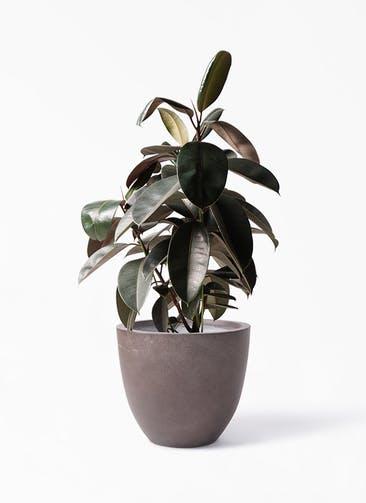 観葉植物 フィカス バーガンディ 8号 ノーマル エルム ラウンド ブラウン 付き