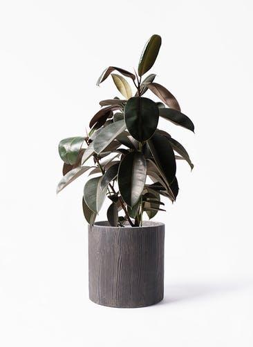 観葉植物 フィカス バーガンディ 8号 ノーマル アルファ シリンダープランター ウッド 付き
