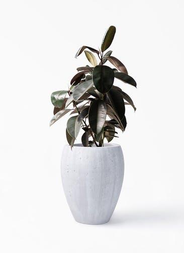 観葉植物 フィカス バーガンディ 8号 ノーマル コーテス ジャー ホワイトウォッシュ 付き