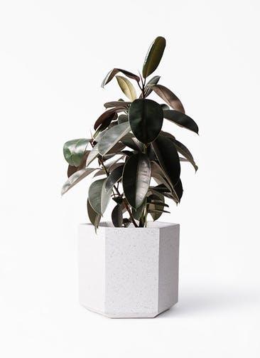観葉植物 フィカス バーガンディ 8号 ノーマル コーテス ヘックス ホワイトテラゾ 付き