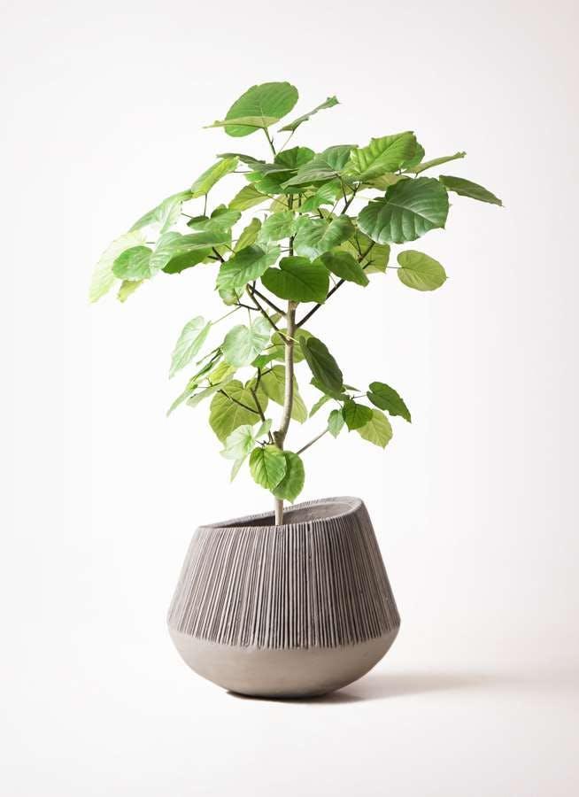 観葉植物 フィカス ウンベラータ 8号 ノーマル エディラウンド グレイ 付き